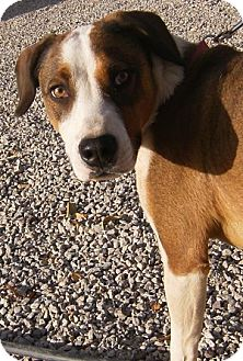Hound (Unknown Type) Mix Dog for adoption in Alamogordo, New Mexico - Buckwheat