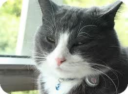 Domestic Shorthair Cat for adoption in Lancaster, Massachusetts - Diamond