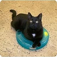 Domestic Mediumhair Cat for adoption in Circleville, Ohio - Purrs