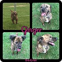Adopt A Pet :: Ginger - El Campo, TX