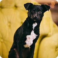 Adopt A Pet :: Smokey - Portland, OR