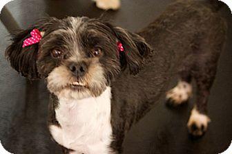 Shih Tzu Mix Dog for adoption in Studio City, California - Cookie