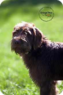 german wirehaired terrier thomas adopted dog goldens bridge ny german 779