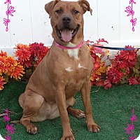 Marietta, GA - Boxer/Shar Pei Mix. Meet Roger a Dog for ...