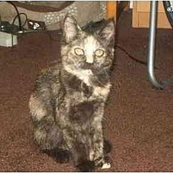 Photo 1 - Domestic Shorthair Kitten for adoption in Trexlertown, Pennsylvania - Starry