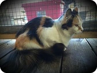 Calico Cat for adoption in Columbus, Ohio - Hailey aka Blossom