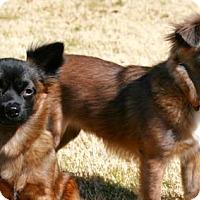Adopt A Pet :: Chewy & Leia Bonded Pair - Dallas, TX