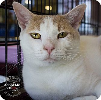 Domestic Shorthair Cat for adoption in Mooresville, North Carolina - A..  Odelle