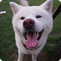 Akita Mix Dog for adoption in Sunnyvale, California - Choco