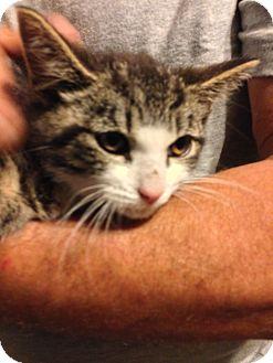 American Shorthair Kitten for adoption in Brooklyn, New York - Cher