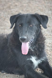 Labrador Retriever/Collie Mix Dog for adoption in Hudson, New Hampshire - Bagheera