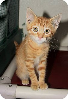 Domestic Shorthair Kitten for adoption in Grinnell, Iowa - Huey