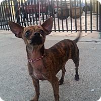 Adopt A Pet :: Bingo - Houston, TX