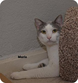 Domestic Shorthair Cat for adoption in Independence, Missouri - Mario