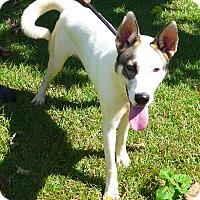Husky Mix Dog for adoption in Manning, South Carolina - Koda
