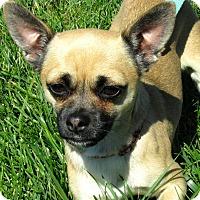 Adopt A Pet :: Salvy - Overland Park, KS