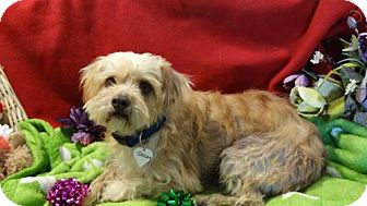 Poodle (Miniature)/Terrier (Unknown Type, Medium) Mix Dog for adoption in Vacaville, California - Oliver