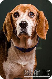 Beagle Mix Dog for adoption in Owensboro, Kentucky - Jethro