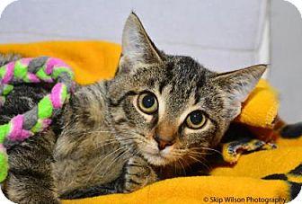 Domestic Shorthair Kitten for adoption in Neenah, Wisconsin - Taz