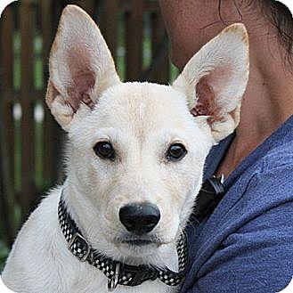 Shepherd (Unknown Type)/Labrador Retriever Mix Puppy for adoption in Huntley, Illinois - Albert