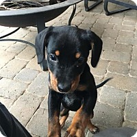 Hound (Unknown Type) Mix Puppy for adoption in Alpharetta, Georgia - Catori