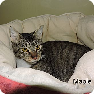 Domestic Shorthair Cat for adoption in Slidell, Louisiana - Maple