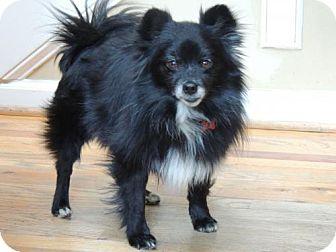 Pomeranian/Pomeranian Mix Dog for adoption in Franklin, Tennessee - LITTLE MAN-POM