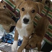 Adopt A Pet :: Muzzles - Bernardston, MA