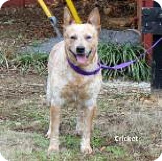 Australian Cattle Dog Mix Dog for adoption in Madisonville, Tennessee - Cricket