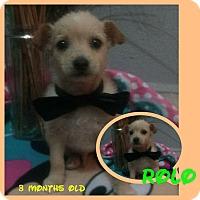 Adopt A Pet :: Rolo - LAKEWOOD, CA