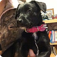 Adopt A Pet :: Roxanne (FORT COLLINS) - Fort Collins, CO