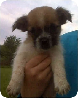 Shih tzu boxer mix puppy for adoption in lancaster ohio marley