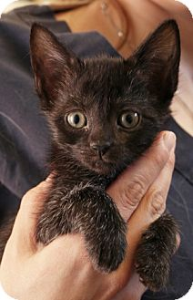 Domestic Shorthair Kitten for adoption in Secaucus, New Jersey - Slim Shady