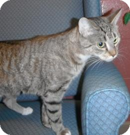 Domestic Shorthair Cat for adoption in Jackson, Michigan - Stinky