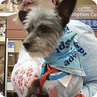 Yorkie, Yorkshire Terrier/Chinese Crested Mix Dog for adoption in Ogden, Utah - Skeeter