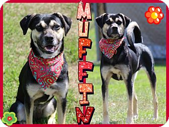 German Shepherd Dog Mix Dog for adoption in Tampa, Florida - Muffin