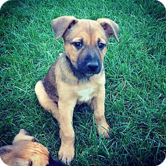 Dayton, OH - German Shepherd Dog/Pit Bull Terrier Mix ...