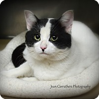 Domestic Shorthair Cat for adoption in Rye, New York - Denver