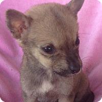 Adopt A Pet :: Foxy - Louisville, KY
