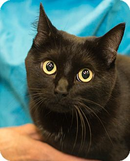 Domestic Shorthair Cat for adoption in Germantown, Maryland - India