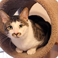 Domestic Shorthair Cat for adoption in Dallas, Texas - Rocky