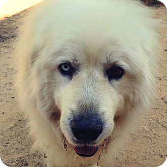 Great Pyrenees Dog for adoption in Greenville, South Carolina - McCraw