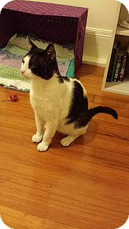 Domestic Shorthair Cat for adoption in Boston, Massachusetts - Otto