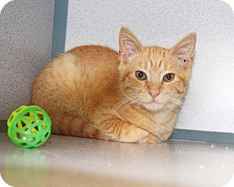 Domestic Shorthair Kitten for adoption in New Rochelle Humane, New York - Gingerale