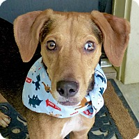 Adopt A Pet :: Ami - Baton Rouge, LA