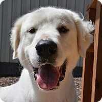 Great Pyrenees/Golden Retriever Mix Dog for adoption in Pacific, Missouri - Zues