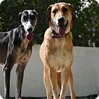 Anatolian Shepherd Dog for adoption in Seattle, Washington - Ahoo from Iran