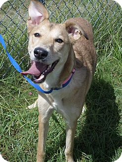 Shepherd (Unknown Type)/Greyhound Mix Dog for adoption in Cleveland, Mississippi - TINKERBELL