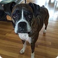 Adopt A Pet :: Stella 2 - Woodinville, WA