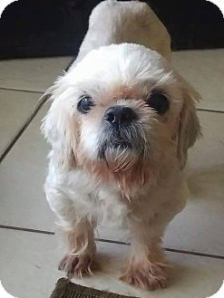 Shih Tzu Mix Dog for adoption in Ft. Lauderdale, Florida - Harry